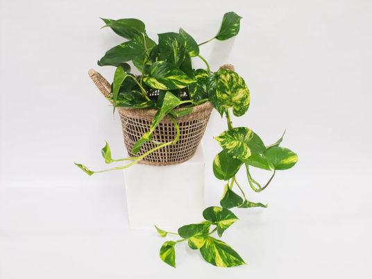 Devils Ivy in a Basket Plant
