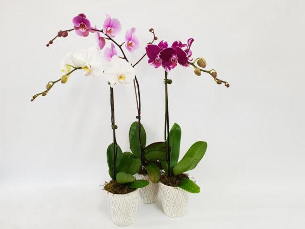 elegant orchid gift plant