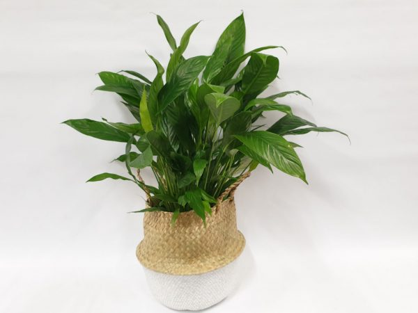 peace lilly gift basket