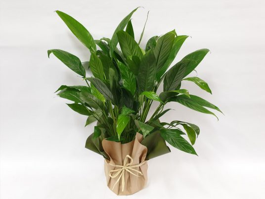 peace lilly gift wrapped